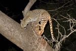 Female leopard climbs a tree after feasting on a fresh killed impala in South Luangwa National Park, Zambia, Africa.