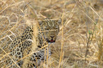 Leopard stalks prey in dry grass of South Luangwa National Park in Zambia.