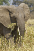 An elephant plays with a trunk full of dried grass in South Luangwa National Park, Zambia.