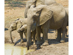 Elephants at a water hole within a stone's throw of Robin Pope Safari's Luangwa Safari House lodge.