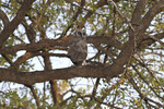 Young giant eagle owl, just out of the nest, sits in a tree with folded wings.