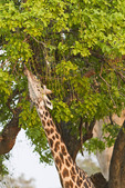 A giraffe stretches his neck ... and his tongue ... to reach tasty leaves high in a tree.