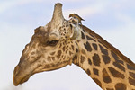 Closeup of a giraffe with a bird on it's head.
