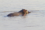 Hippo mom and baby swim in the Luangwa River in Zambia, Africa