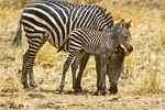 Zebra mom and foal in South Luangwa National Park.