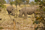 Two of the five white rhinos seen on a walking safari in Mosi-oa-Tunya National Park outside Livingstone, Zambia.