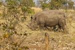 Two of the five white rhinos seen on a walking safari in Mosi-oa-Tunya National Park outside Livingstone, Zambia.