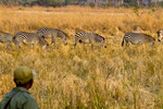 Safari scout watching zebras from up close durng safari hike with Norman Carr Safaris bush camp.