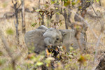 Elephant calf eats brush and tree branches,  seen while on safari in South Luangwa National Park, Zambia, Africa.