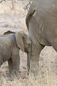 Adult and juvenile elephants seen while on safari in South Luangwa National Park, Zambia, Africa.