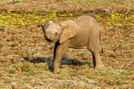 Elephant calf, seen while on safari in South Luangwa National Park, Zambia, Africa.