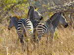 Plains or Burchell's zebras (Equus quagga) seen in South Luangwa National Park, Zambia, Africa.