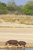Hippo mom and baby walk along the shore of the Luangwa River