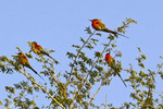 Southern carmine bee eater birds (Merops nubicoides) in a tree in the South Luangwa National Park.