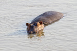 Hippos swim in the Luangwa River in Zambia, Africa