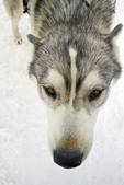 Closeup of sled dog getting ready for a run in a rural area outside Park City, Utah.