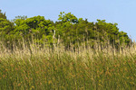 Sea oats and sawgrass with hard wood trees along the Apalachicola River in the town of Apalachicola along the Florida Panhandle.