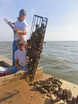 Oyster fishermen using tongs to work in Apalachicola Bay, Fla.