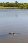 Alligator, also called American alligator in Gator Lake at St. Andrews State Park, Panama City Beach, Fla