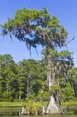 Bald cypress trees with cypress knees visible along the Wakulla River at Wakulla Springs State Park, Fla.