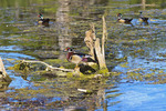 Colorful wood duck or Carolina duck sits on a tree snag in the Wakulla River of Wakulla Springs State Park. Florida.