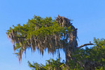Osprey on a nest in a bald cypress tree in Wakulla Springs State Park outside Tallahassee in north Florida, USA.