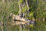 Anhinga drying its wings on a log alongside several Suwannee Cooter turtles in the Wakulla River in Wakulla Springs State Park, Florida