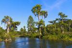 Bald cypress trees along the Wakulla River at Wakulla Springs State Park, Florida, USA.
