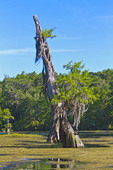 Very old bald cypress tree along the Wakulla River at Wakulla Springs State Park, Florida, USA.