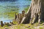 Cypress 'knees' of bald cypress tree along the Wakulla River at Wakulla Springs State Park, Florida, USA.