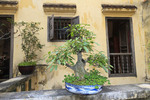 Bonsai tree on display at renovated historical house dating back to the end of the 19th Century at #87 Ma May street just north of Hoan Kiem Lake in Hanoi, Vietnam.