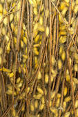 Silk worm larvae hang on a rack outside the door to Mao Silk Factory, Hanoi, Vietnam.