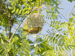 Slender billed weaver bird (Ploceus pelzelni) and its nest at Disney's Animal Kingdon, Disney World, Florida, USA.