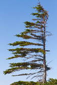 'Windsailed' white spruce, also called Krumholz effect, arctic Canada.