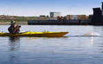 Man photographs beluga whales while kayaking in the Churchill River just off Churchill, MB, Canada. The Port of Churchill can be seen in the background.