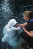 Trainer works with beluga at beluga show, Vancouver Aquarium. Vancouver, BC, Canada.