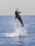 Spinner dolphin spins in Kailua Bay off Kona town, Big Island, Hawaii, USA.
