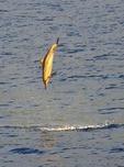 Spinner dolphin spins in Kailua Bay off Kona town, Big Island, Hawaii, USA.