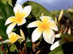 Closeup of plumeria flowers, Molokai, Hawaii, USA. Also known as frangipani