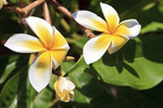 Closeup of plumeria flowers, Molokai, Hawaii, USA. Also known as frangipani