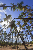 """Royal Grove"" of coconut trees planted by Hawaiian King Kamehameha V in 1868. Molokai, Hawaii, USA."