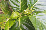 Noni fruit growing in Halawa Valley, Molokai, Hawaii, USA. In historic times, this tropical fruit was used for medicinal treatments (stomach cramps, coughs, arthritis). The juice has become popular recently as a 'superfruit' to help with assorted ailments. Noni fruit is being touted as a veritable cure-all, useful in mitigating diabetes, cardiovascular disease, cancer, headaches, arthritis, and a host of degenerative diseases. While the fruit is beneficial to health, many claims made for noni are baseless.  