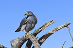 Gray hawk, a small raptor, at Arizona-Sonora Desert Museum outside Tucson, AZ.