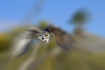 Blurred image of great horned owl at Arizona-Sonora Desert Museum outside Tucson, AZ.