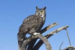 Great horned owl at Arizona-Sonora Desert Museum outside Tucson, AZ.