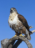 Ferruginous hawk named for the red color on its back and legs. A medium sized raptor.