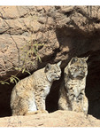 Two bobcats at the Arizona-Sonora Desert Museum outside Tucson, AZ.