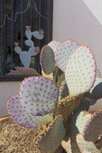 Prickly pear cactus with purple hue in Arizona.