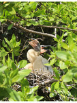 Anhinga chicks in a nest along a mangrove canal in Riviera Maya, Mexico