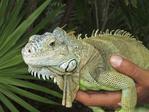 Green iguana (Iguana iguana) in the hand of his owner in Riviera Maya, Yucatan, Mexico.
